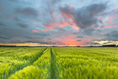 Tractor trail through Wheat field Stock Images