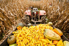 Tractor with trailer in corn field Stock Image