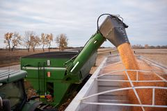 Tractor and trailer offloading corn into a semi. Tractor and trailer offloading freshly harvested corn kernels from a hopper into a semi for transport Stock Photos