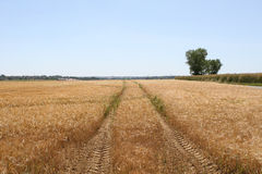 Tractor trailor tracks through a wheat field. A tractor farming vehicle left a trail through a farmers field of food crops Royalty Free Stock Image