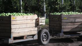 Tractor transport wooden container full of apple fruits. Tractor transport wooden containers full of apple fruits between garden tree rows. Autumn harvest stock footage