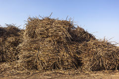 Sugarcane Crop Bundles Yard  Stock Images