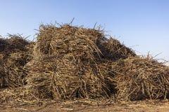 Sugarcane Crop Bundles Yard stock images