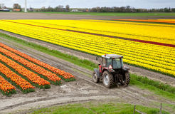 Tractor on the tulip field Royalty Free Stock Image