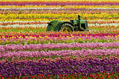 Tractor in a Tulip field. Tractor sitting in the middle of a field of tulips at the Wooden Shoe Tulip Festival royalty free stock images