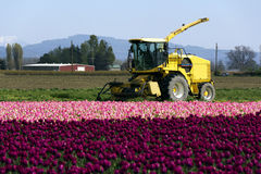 Tractor and tulips. A farm tractor on green grass behind a carpet of red and pink tulips Royalty Free Stock Image