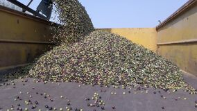 Tractor unloading a Massive amount of Harvested Olives into a Large trailer.