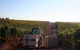 Tractor in Vineyard. Tractor bringing full grape bins to the production area Royalty Free Stock Photography