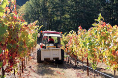 Tractor In Vineyard Row. Tractor going down vineyard row during harvest Royalty Free Stock Photography