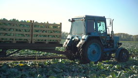 Tractor working to harvest cabbage stock video