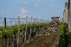 Tractor working on wine types. Tractor working wine growing area, birds looking on the ground royalty free stock image
