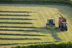 Tractors cutting silage and filling trailer in field Stock Photo