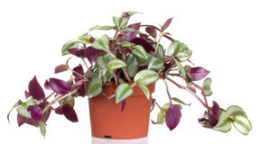 tradescantia бака цветков цветка Стоковое фото RF