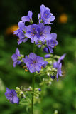 Tradescantia andersoniana 'Sweet Kate'. Fancy garden flower with blue petals Stock Image