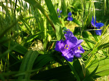 Tradescantia. Brightly purple Tradescantia tells you a good morning Stock Photo