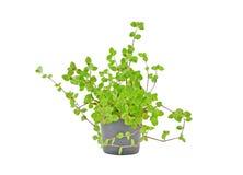 Tradescantia conservata in vaso della pianta della Camera Fotografie Stock