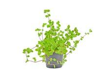 Tradescantia conservata in vaso della pianta della Camera Fotografia Stock