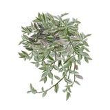 Tradescantia mit bunten Blättern Stockbild