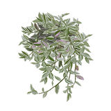 Tradescantia with motley leaves stock image