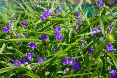 Tradescantia ohiensis, commonly known as bluejacket or Ohio spiderwort. Virginia Spiderwort Tradescantia virginiana in garden. Tradescantia ohiensis, commonly stock photography