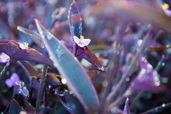 Tradescantia pallida, Purple Heart plant. Tradescantia pallida is a species of spiderwort a genus of New World plants more commonly known as wandering jew. Other Stock Photo