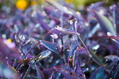 Tradescantia pallida, Purple Heart plant. Tradescantia pallida is a species of spiderwort a genus of New World plants more commonly known as wandering jew. Other Stock Images
