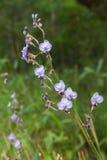 Tradescantia Pallida or purpurea flower Royalty Free Stock Photo