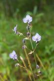 Tradescantia Pallida or purpurea flower Stock Photos