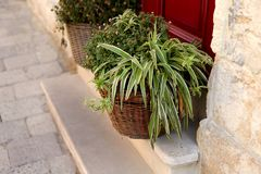 Tradescantia`s green bush in a basket in front of the door to the house. royalty free stock images