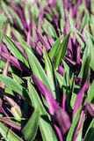 Tradescantia spathacea Swartz Royalty Free Stock Images