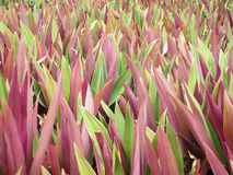 Tradescantia spathacea Swartz in garden Stock Photo