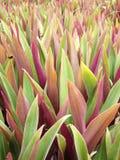 Tradescantia spathacea Swartz in garden Stock Images