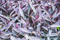 Tradescantia Stock Photography