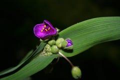 Tradescantia van Andeson Mooie heldere bloeiende installatie met grote bloemen stock afbeeldingen