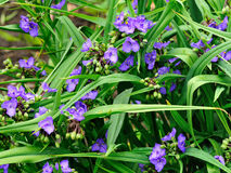 Tradescantia virginiana flowers Royalty Free Stock Photography