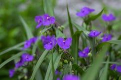 Free Tradescantia Virginiana The Virginia Spiderwort Purple Violet Flowering Plants, Three Petals Flowers In Bloom Stock Image - 191792251