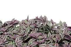 Tradescantia Zebrina Royalty Free Stock Photos