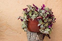 Tradescantia Zebrina pendula Stock Photos