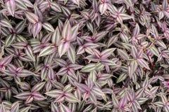 Tradescantia zebrina plant Royalty Free Stock Image