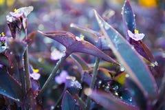 Tradescantiapallida, Purple Heart-installatie royalty-vrije stock afbeeldingen