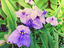Tradescatia virginiana, spiderwort flower. Sprintime flowers. Ti. Ned toned coloration image with sunbeam effect Royalty Free Stock Photo