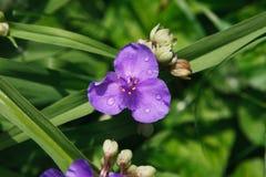 Tradeskanci andersoniana kwiatu tło zdjęcia royalty free