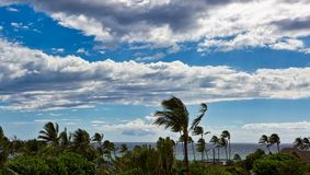 Tradewinds bending palm trees on the island of Maui Stock Image