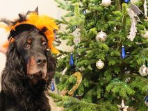 Tradición de la familia del árbol de navidad de la diversión del día de fiesta del traje del perro del Año Nuevo Imagen de archivo libre de regalías