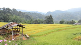 Tradition hut at paddy fields of rice. HD. Tradition hut at paddy fields of rice, Chang Mai, Thailand. HD stock video
