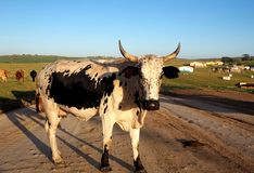 Traditional African cow in South Africa. Large Nguni cow on a road in South Africa royalty free stock image