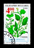 Traditional agricultural plants in Bulgaria, Spinacia oleracea,. MOSCOW, RUSSIA - DECEMBER 21, 2017: A stamp printed in Bulgaria shows Traditional agricultural Royalty Free Stock Image