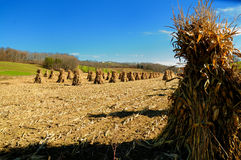 Traditional amish fall harvest. Harvested corn stalks In northeast Ohio Royalty Free Stock Image