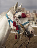 Traditional Anatolian Jereed Horse. A traditional Turkish jeered horse Stock Images