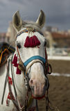 Traditional Anatolian Jereed Horse Royalty Free Stock Images